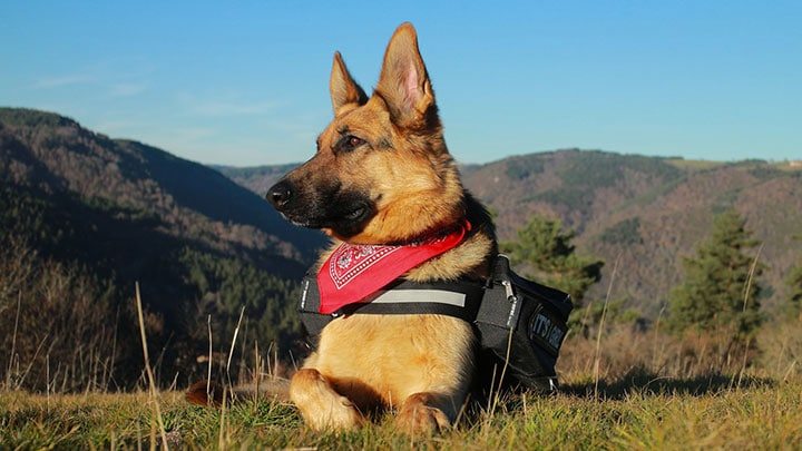 german-shepherd-hiking