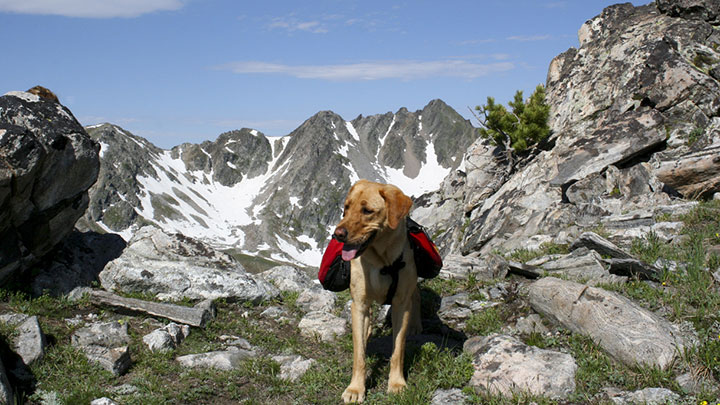 labrador-retriever-hiking