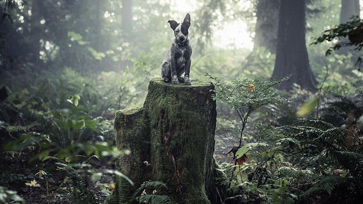 australian-cattle-dog-climbs-tree