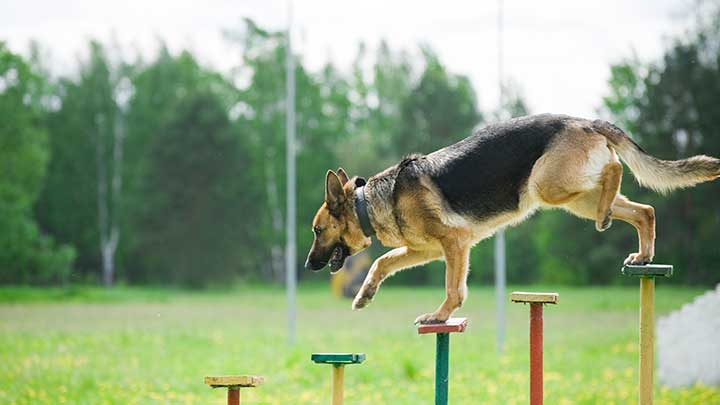 most-athletic-dog-breeds