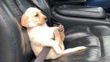 dog-seat-belt