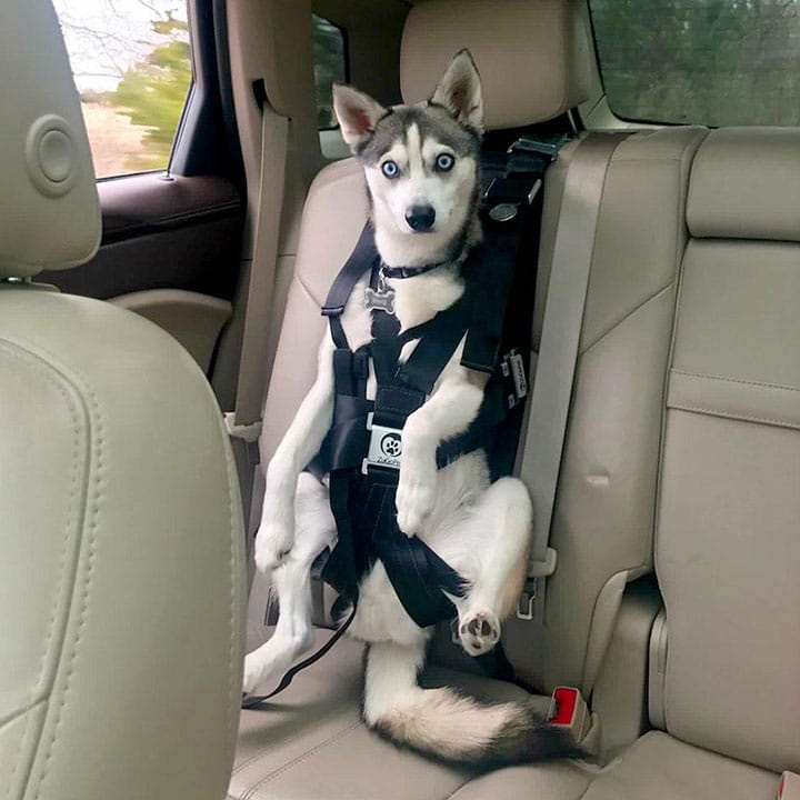 Best Dog Seat Belt >> 5 Best Car Harnesses And Seat Belts For Dogs Outdoor Dog World