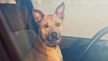 how-to-leave-dog-in-car-safely