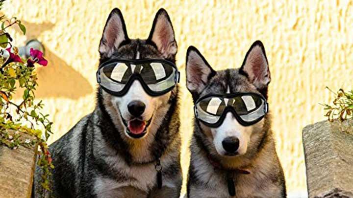 deti-dog-sunglasses