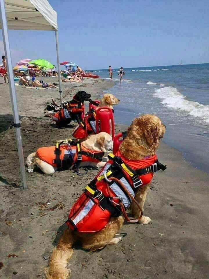 lab-rescue-dogs-life-guards