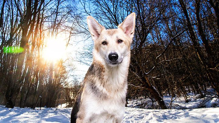 wolf-dog-hybrid-wolf