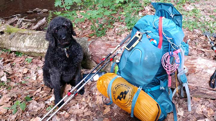 black-forest-trail-abby-labradoodle