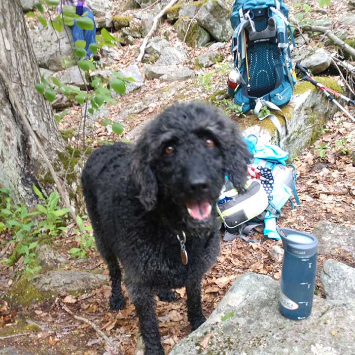 pennsylvania-black-fores-trail-abby-labradoodle