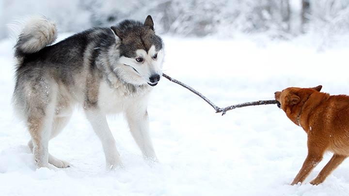 alaskan-malamute-sled-dog