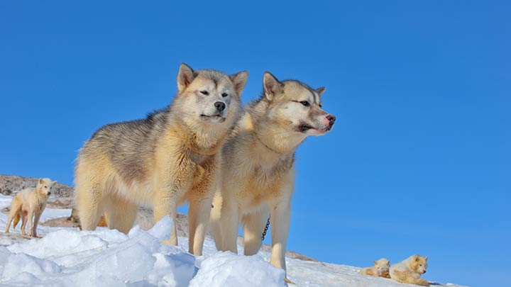 greenland-sled-dogs