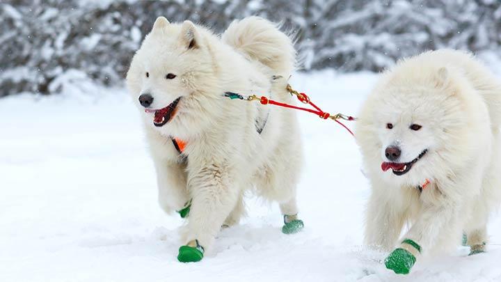 samoyed-sled-dog