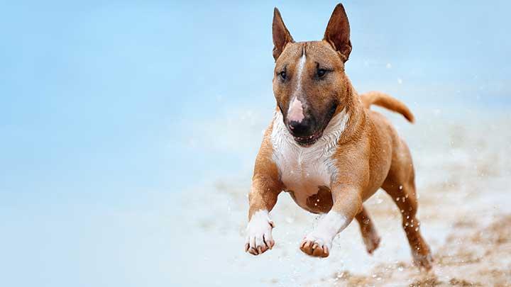 mini-bull-terrier-running-on-beach