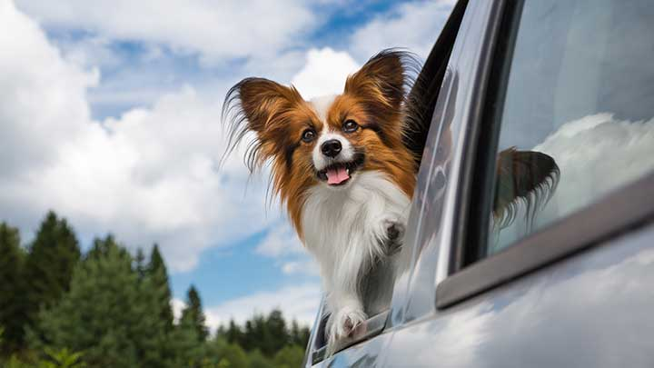 papillon-dog-head-out-window