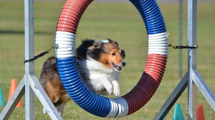 shetland-sheepdog-agility-course