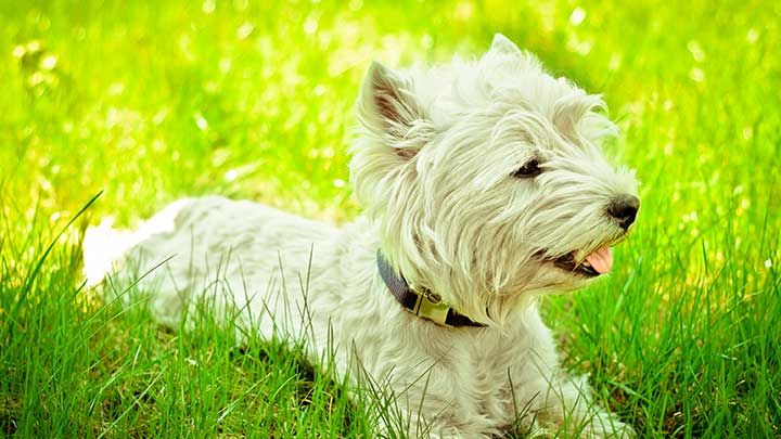 west-highland-white-terrier-outdoors