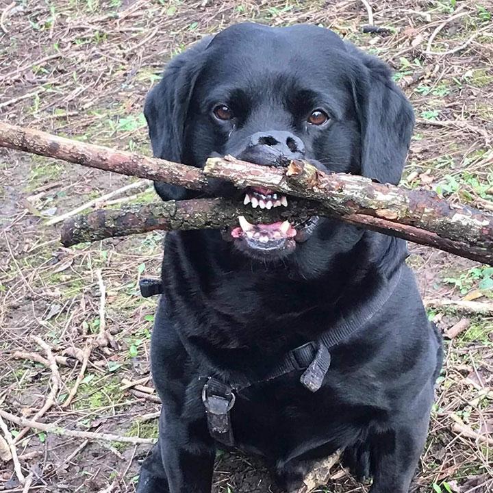 black-lab-large-sticks
